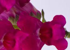Lõvilõug1 - Lööra lilled