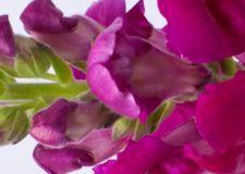 Lõvilõug2 - Lööra lilled