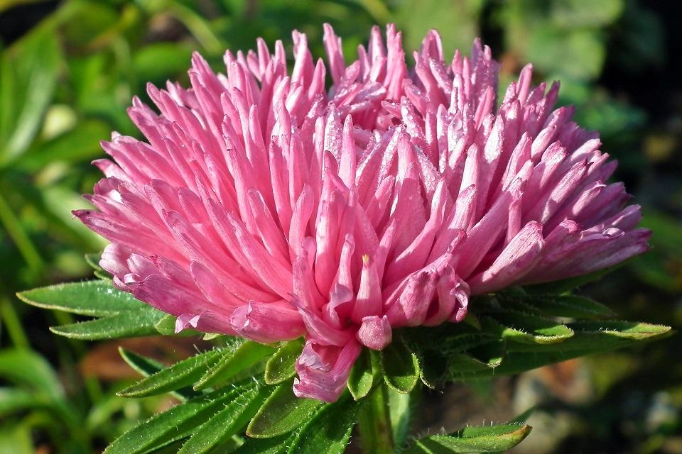 Aster - Lööra lilled