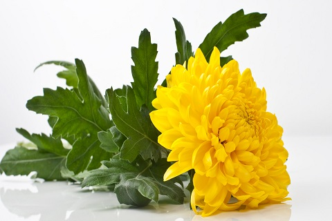 Krüsanteem - Lööra lilled