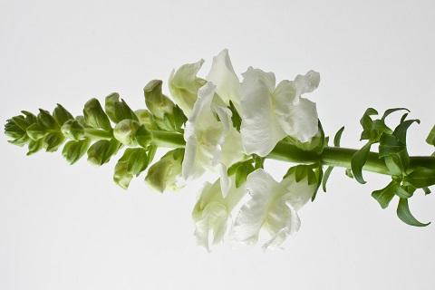 Lõvilõug - Lööra lilled