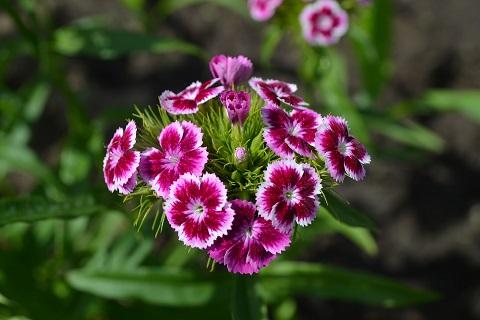 Talinelk - Lööra lilled