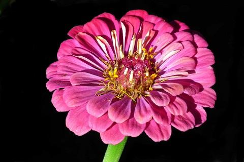 Zinnia - Lööra lilled